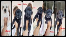 Título do anúncio: Labrador Misto ( Doação ) estão no bairro Vinhosa Itaperuna