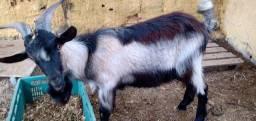 Título do anúncio: Cabra e bode
