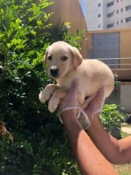 Título do anúncio: Labrador // Filhotes de Labrador