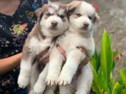 Título do anúncio: Husky Siberiano com pedigreee e microchip em até 12x