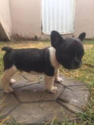 Título do anúncio: Vendo filhotes de bulldog francês (buldogue)