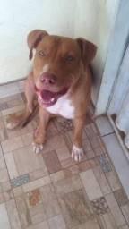 Filhote Pitbull - 9 meses