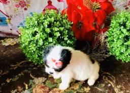 Lindos filhotes da raça shin tzu micro disponível