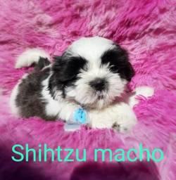 Shih Tzu macho fofo