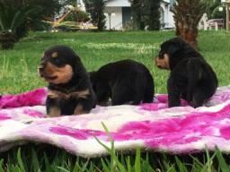 Filhotes de rottweiler..