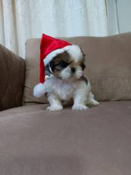 SHIH TZU MACHO DOS MINI