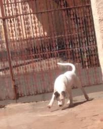 Cachorro pitbull com labrador