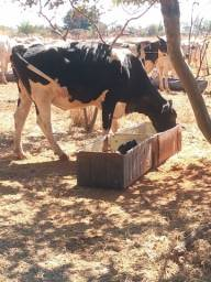 Vaca procedência Leiteira