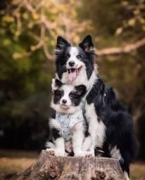 Título do anúncio: Maravilhosos filhotes de Border Collie
