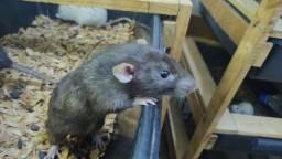 Título do anúncio: Rato ( Mercol / Twister)