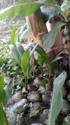 Título do anúncio: Muda de coqueiro anão