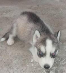 Vendo filhote de cachorro husky siberiano