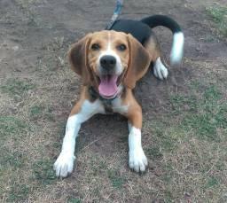 Título do anúncio: Filhote 100% Puro Beagle