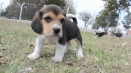 Beagle tricolor 55 dias