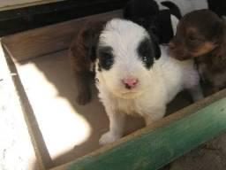 Lindos poodle x maltês só 150