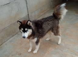Doação de Husky Siberiano com ajuda, têm pedigree, pra quem tem sítio