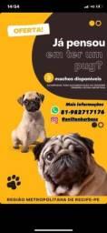 Título do anúncio: FILHOTES DE PUG ! 1.499