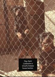 Título do anúncio: Rottweiler padrão alemão