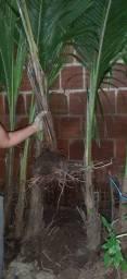 Mudas de Coqueiros Palmeira