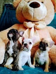 Título do anúncio: Bulldog Francês Fêmeas Filhotes Disponíveis