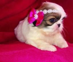 Título do anúncio: Miniatura de shih tzu,  lindos filhotes