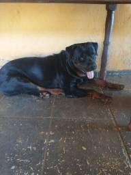 Rottweiler disponível pra cruza macho
