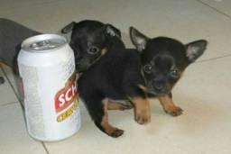 Título do anúncio: Pequenininhos filhotes lindos de pinscher zerinhos
