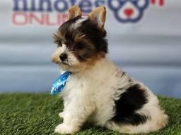 Título do anúncio: Yorkshire Biewer Terrier