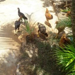 Título do anúncio: Vendo galinhas caipira e poedeira
