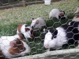 Vendo lindos porquinhos !