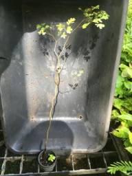 Mudas de Pau-ferro (Caesalpinea ferrea)