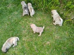 Filhotes de Pug - Pronta entrega