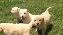 Golden retriever filhotes disponíveis fêmea e machinhos entrega imediata