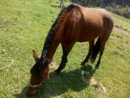Cavalo saino pra vender hj