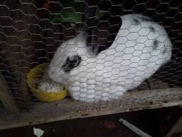 Título do anúncio: Casal de coelhos
