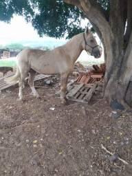 Título do anúncio: Cavalo baio loiro inteiro