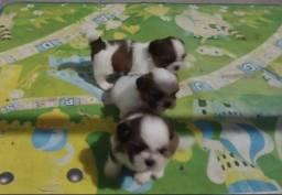 Título do anúncio: Tenho 3 filhotes de Shih Tzu MACHOS disponíveis p/ o dia 14 de novembro