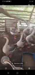 Título do anúncio: Casal de ganso Africano de barbela
