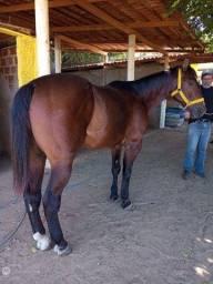 Título do anúncio: Cavalo de Direita manso e derrubador vendo e troco