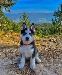 Título do anúncio: Incríveis filhotes de Husky Siberiano
