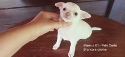 Título do anúncio: Filhotes FÊMEAS Chihuahuas
