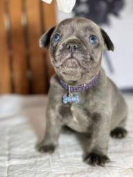 Título do anúncio: Bulldog Francês Blue solido macho