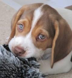 Título do anúncio: ?Disponível Beagle Filhote com Pedigree Microchip?..