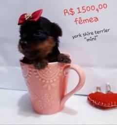 "York Shire Terrier "" mini """