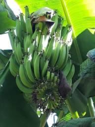 Título do anúncio: Mudas de banana!