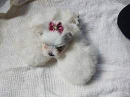 Maltês fêmea Branca neve com garantia veterinária já disponível