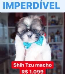 Promoção* Os + Belos filhotes de Shih Tzu contrato garantia procedência