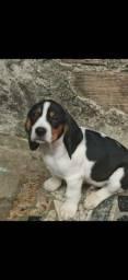 Título do anúncio: Filhotes de beagles.