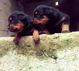 Título do anúncio: Rottweiler alemão machos e fêmeas