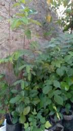 Título do anúncio: Plantas frutíferas
